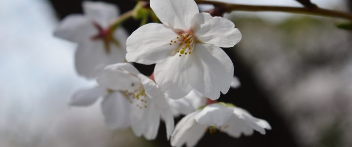 Hanami and Cherry Blossom Forecasts in Japan