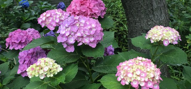 The Hydrangea Festival at Hakusan Shrine
