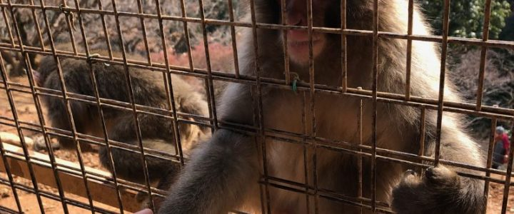 Macaque Some Friends at Arashiyama Monkey Park!